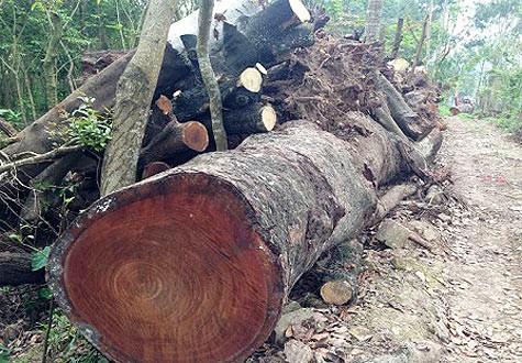 Gỗ bị chặt hạ tại bãi tập kết gỗ của Công ty TNHH Một thành viên Công viên Cây xanh Hà Nội.