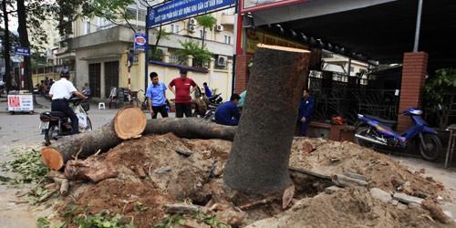 Cây xà cừ trên phố Nguyễn Chí Thanh bị chặt hạ.