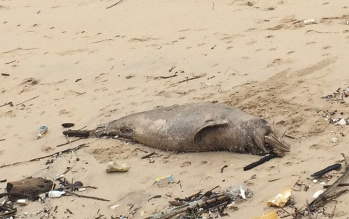 Chú cá heo nặng khoảng 70kg bị chết trôi dạt vào bờ biển.