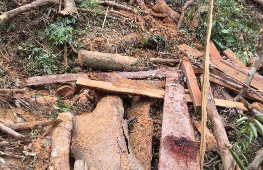 Lâm tặc ngang nhiên đốn hạ, khai thác gỗ quý giữa rừng Trường Sơn.