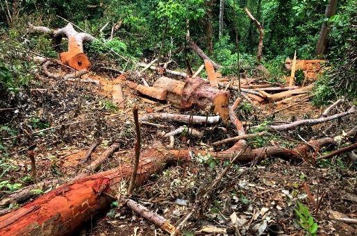 Bãi gỗ lim ngổn ngang cành, ngọn, bìa trong khu vực rừng Phạ Thả, Trường Sơn
