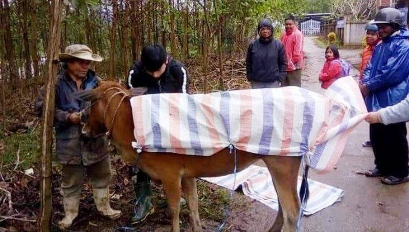 Người dân huyện A Lưới dùng bạt để giữ ấm cho bò trong những ngày mưa rét. Ảnh: VGP/Minh An