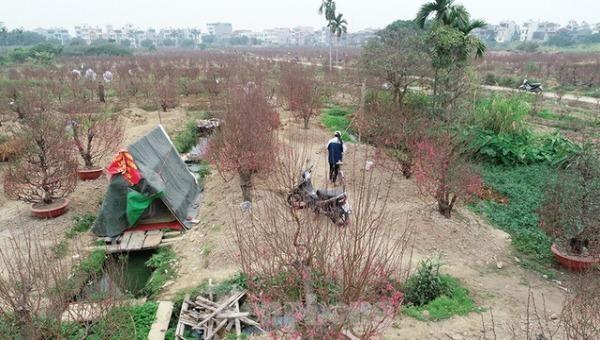 Những vườn đào ở phường Hải Tân (TP Hải Dương) gần như không có người mua dù đã cận Tết Nguyên đán. Ảnh: cafebiz