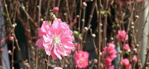 Ngắm hoa đào Nhật Tân khoe sắc trên phố