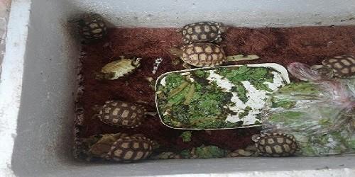 Phát hiện cơ sở nuôi rùa quý hiếm trái phép giữa thủ đô