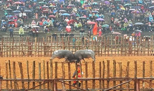 Phù Ninh: Hàng nghìn người đội mưa rét về Lễ hội Chọi trâu