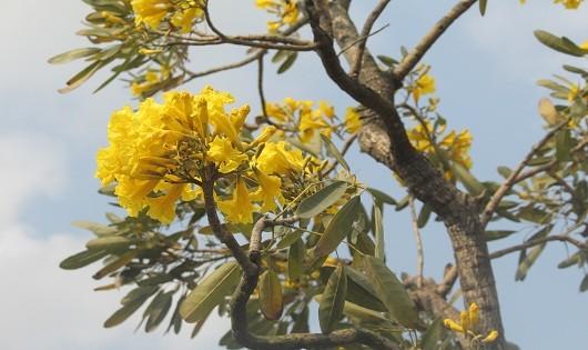 Những chùm hoa vàng tuyệt sắc như đang thách thức cái nắng kia, căng tràn đầy sức sống