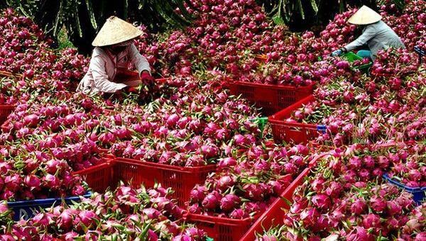 Sở NNPTNT Bình Thuận khuyến cáo người dân tổ chức sản xuất, thu hoạch và thu mua thanh long để phù hợp với tình hình thực tế hiện nay.