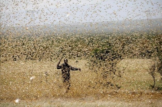 Châu chấu bay rợp trời Kenya