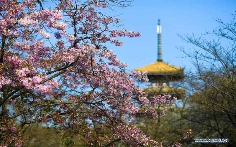 Ngỡ ngàng Vũ Hán rộ hoa xuân giữa dịch Covid - 19