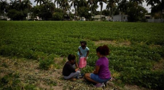 Một gia đình nông dân ở Florida (Mỹ) thu hái đỗ.