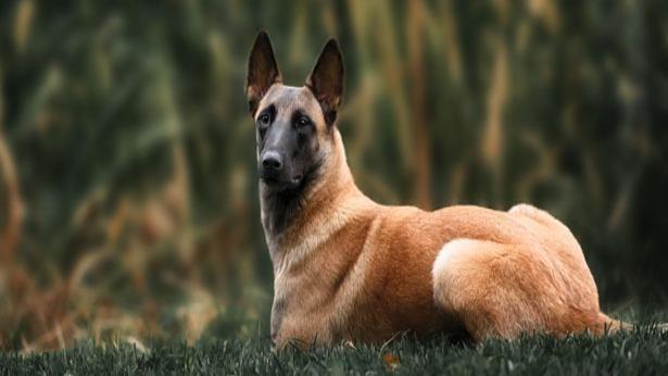 Chó chăn cừu Bỉ đánh hơi ra người bị nhiễm Covid-19