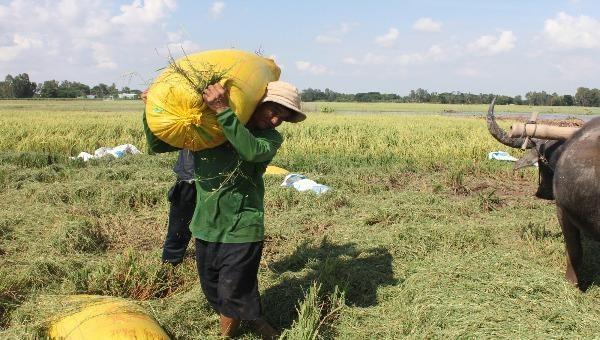"""Cần Thơ kiến nghị ưu tiên giải quyết lượng gạo xuất khẩu đang """"kẹt"""" tại cảng"""