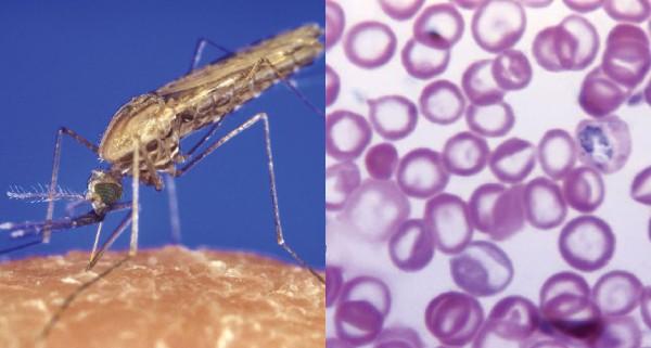 Ký sinh trùng sốt rét kháng thuốc lây lan mạnh mẽ khắp Đông Nam Á