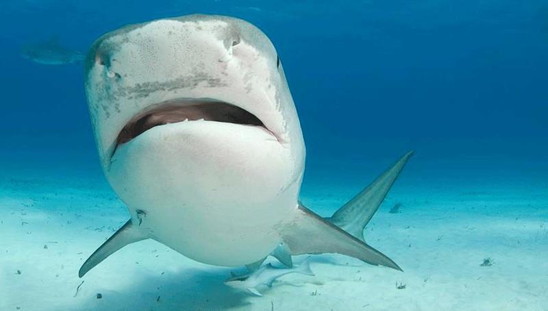 Phát hiện bàn tay du khách mất tích trong dạ dày của cá mập