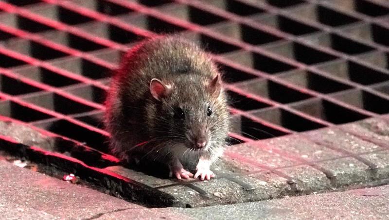 Dịch bệnh có thể khiến loài chuột có thể chuyển sang ăn thịt đồng loại để sinh tồn