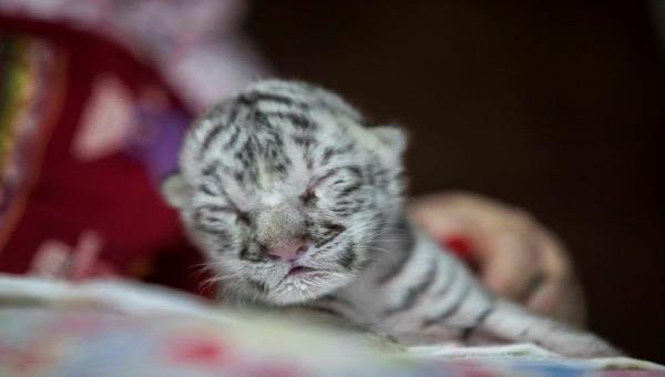 Hổ trắng quý hiếm sinh ra tại vườn thú Nicaragua