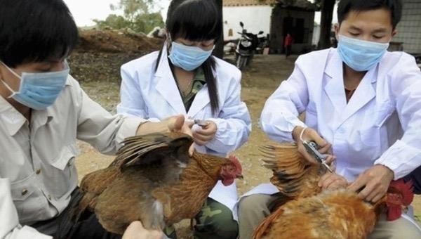 Hàn Quốc tiêu hủy 18,8 triệu gia cầm nhằm tránh lây lan cúm