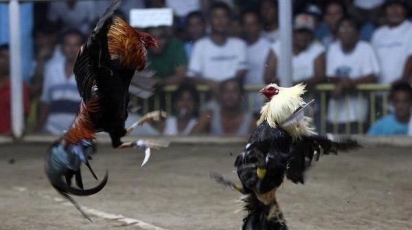 Người đàn ông Ấn Độ tử vong vì lưỡi dao gắn vào cựa gà