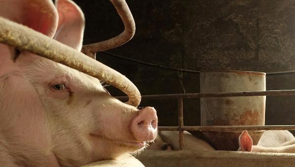 Nhà khoa học Trung Quốc phát hiện biến thể mới của virus gây dịch tả lợn châu Phi