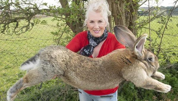 """""""Con thỏ lớn nhất thế giới"""" đã bị trộm"""