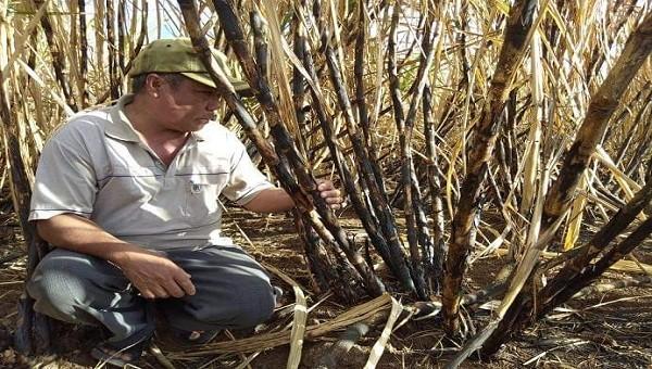 """Người nông dân và ngành mía đường đang đưng trước nguy cơ bị """"bức tử"""" khi ATIGA có hiệu lực ở Việt Nam."""