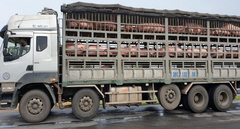 Bắt giữ 342 con lợn còn sống, nghi nhập lậu