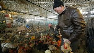 Theo dõi sát cúm gà tại Trung Quốc