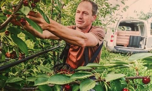 """Chi phí trồng cherry Australia """"tốn nhất lịch sử"""""""