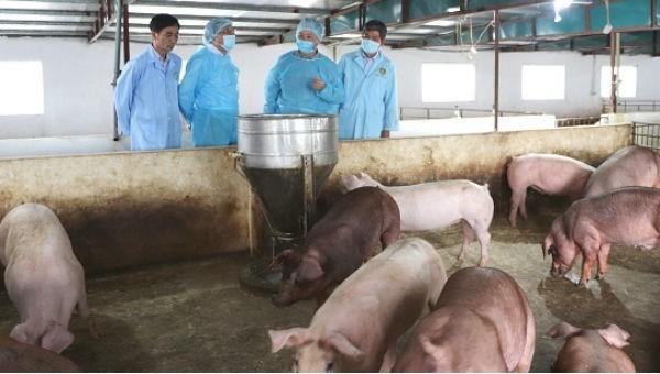Hà Nội xác minh nguyên nhân chính đàn lợn ở Long Biên mắc dịch tả lợn châu Phi