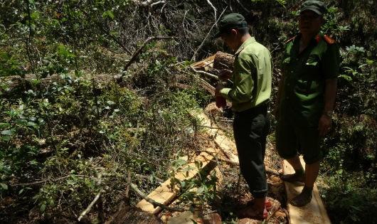Quảng Nam: Tàn phá khủng khiếp rừng pơ mu ở đại ngàn Nam Giang