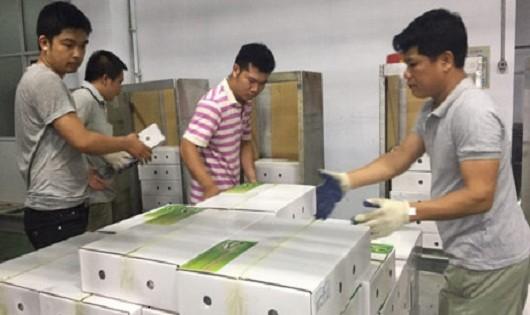 Lô hàng xoài xanh đầu tiên của Sơn La đã được xuất sang Úc
