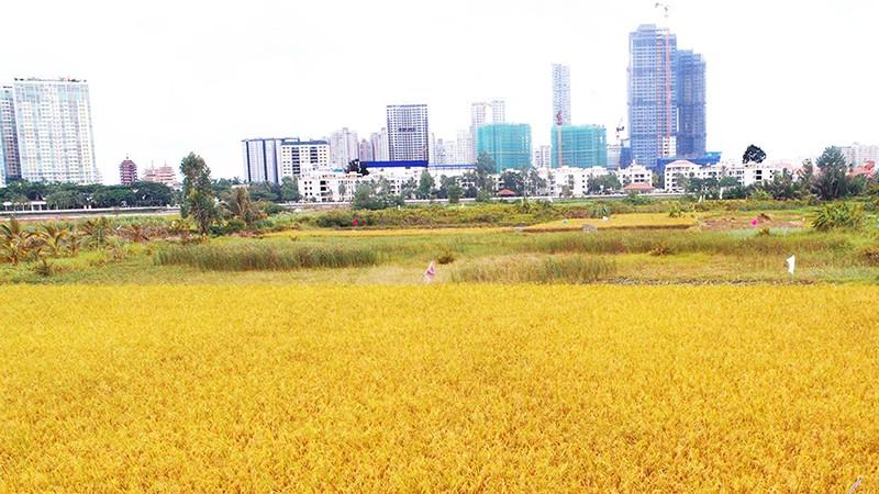 TP HCM cần chuyển đổi cơ cấu cây trồng trên đấy trồng lúa