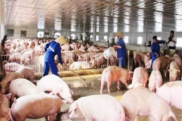 Hải Dương: Việc tái đàn lợn gặp khó khăn, chăn nuôi gà phát triển