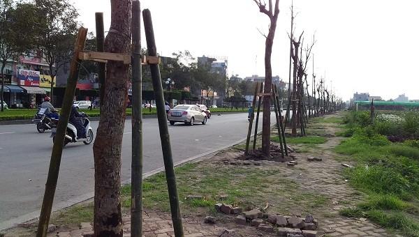 Hải Dương lý giải việc thay thế toàn bộ cây xanh trên đường Trường Chinh