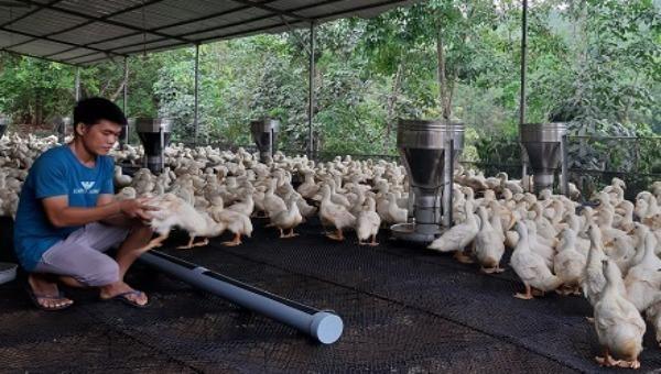 """Người chăn nuôi tại Đồng Nai """"ôm"""" lỗ khi giá gia cầm chạm đáy"""
