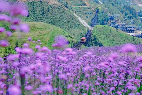 Đồi hoa tím tuyệt đẹp tại Sa Pa