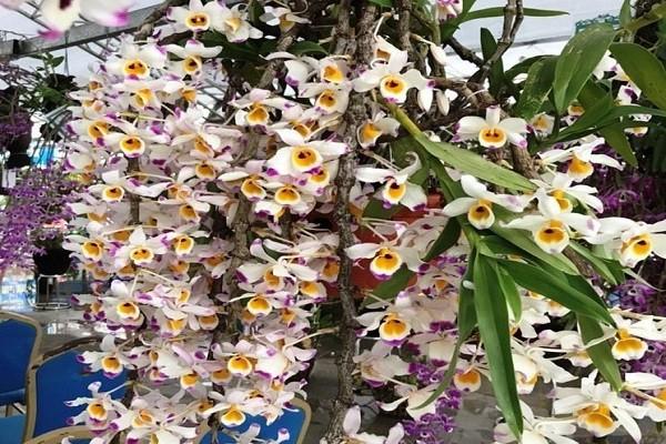 Triển lãm hoa lan Lai Châu lần thứ 4 sẽ được tổ chức từ ngày 3-4/4/2021