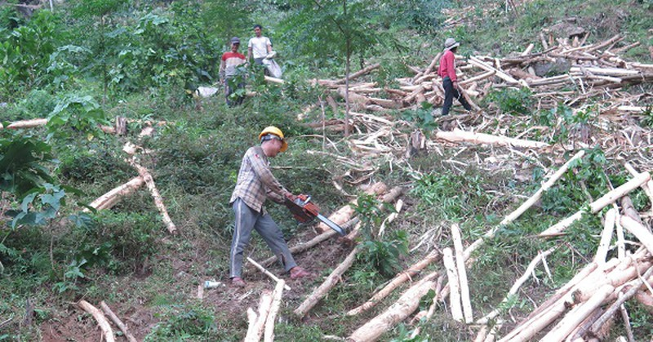 Đề nghị doanh nghiệp mua gỗ keo ngã đổ do ảnh hưởng bão giúp người dân
