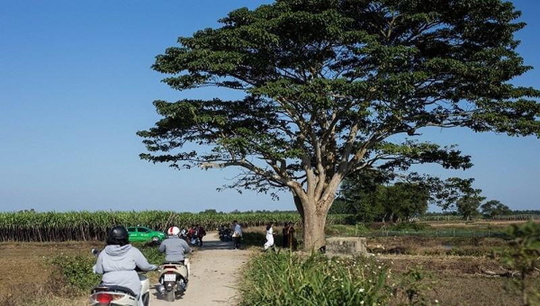 """Số lượng người đổ về """"cây cô đơn"""" tại huyện Quảng Điền, tỉnh Thừa Thiên Huế những ngày qua để check in rất đông."""