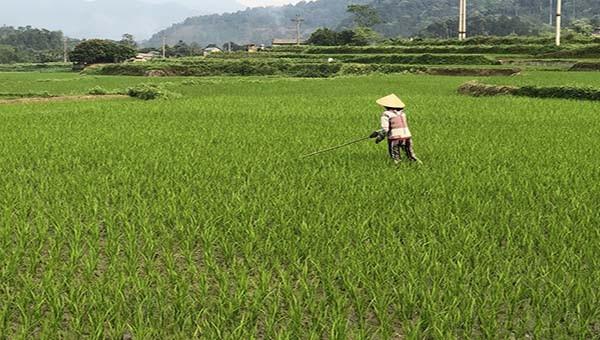 Hơn 33 ha lúa ở Bắc Kạn bị nhiễm bệnh đạo ôn