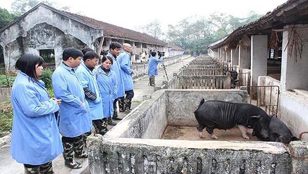 Dịch tả lợn châu Phi tại Cao Bằng cơ bản được khống chế.