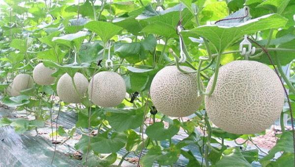 Hiệu quả từ trồng dưa công nghệ cao ở Thái Nguyên