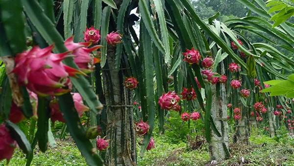 Thanh long ruột đỏ là một trong những mặt hàng nông sản được ưa chuộng tại tỉnh Vĩnh Phúc