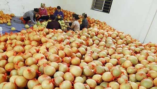 Bắc Giang xuất khẩu thành công 3,6 vạn quả bưởi đào sang Nga