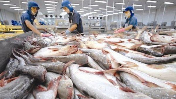 Tín hiệu vui từ một số thị trường lớn:Doanh nghiệp xuất khẩu cá tra cần chuẩn bị nguyên liệu