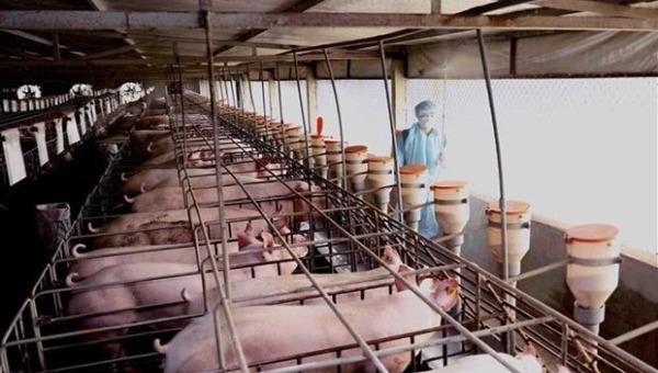Từ mai, cho phép nhập khẩu lợn sống vào Việt Nam làm thực phẩm