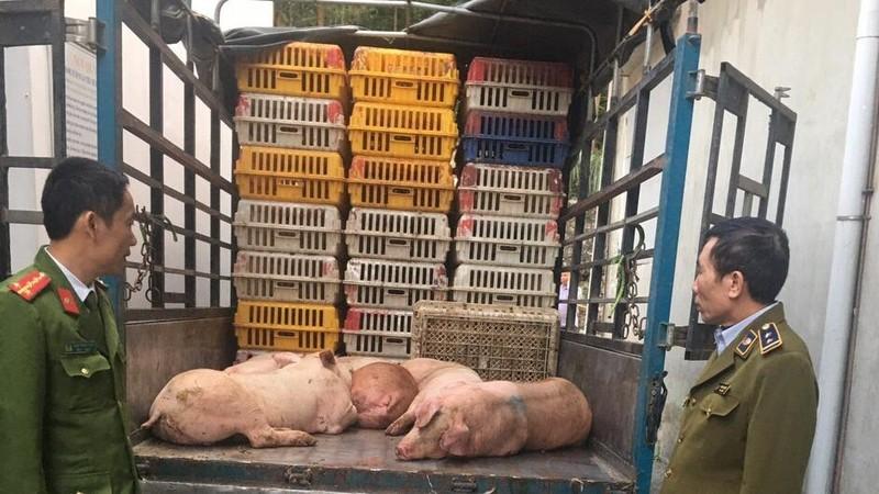 Ngăn chặn kịp thời xe vận chuyển gần 5 tạ thịt heo nhiễm dịch tả lợn châu Phi đang trên đường đi tiêu thụ