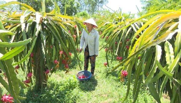 Mô hình trồng thanh long ruột đỏ cho thu nhập hơn 100 triệu đồng của gia đình, bà Nguyễn Thị Cuông ở thôn Chánh Hòa xã Nam Trạch.