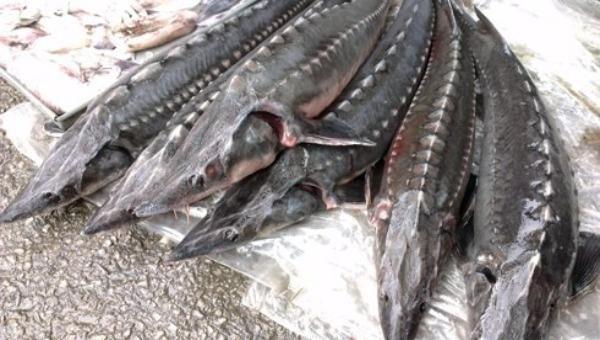 """""""Siết chặt"""" hành vi kinh doanh và nhập khẩu cá tầm."""